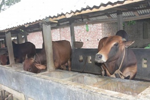 কাপাসিয়ায় কৃষকের গরু চুরির হিড়িক : এক গ্রামের ৮ গরু