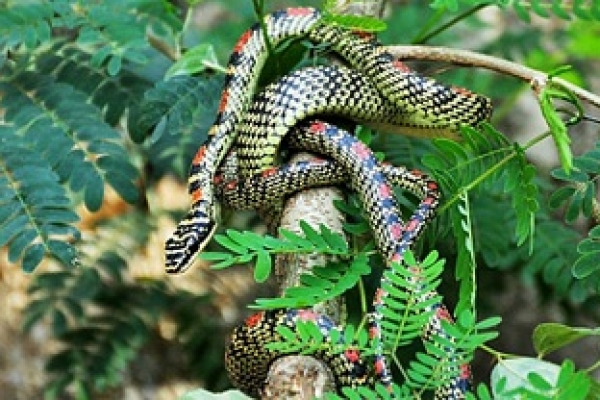মৌলভীবাজারে বাস্তবে দেখা মিলল নাগ-নাগিনীর