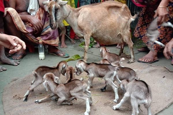 একটি ছাগলের ৮ টি বাচ্চা জন্ম গ্রহন করায় এলাকায় চাঞ্চল্যের সৃষ্টি
