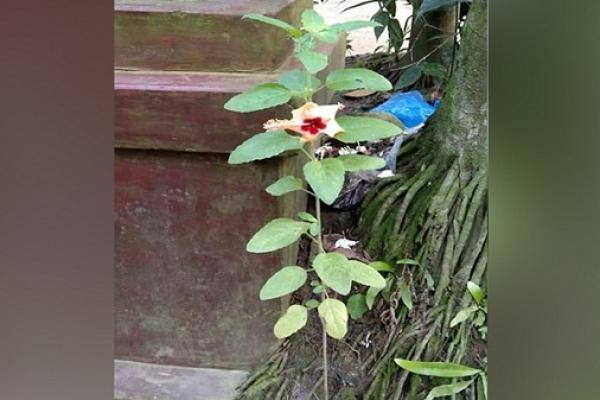 দুর্গাপূজার মহাপঞ্চমীতে অলৌকিক ঘটনা, কালিহাতীতে তুলসী গাছে জবা ফুল!