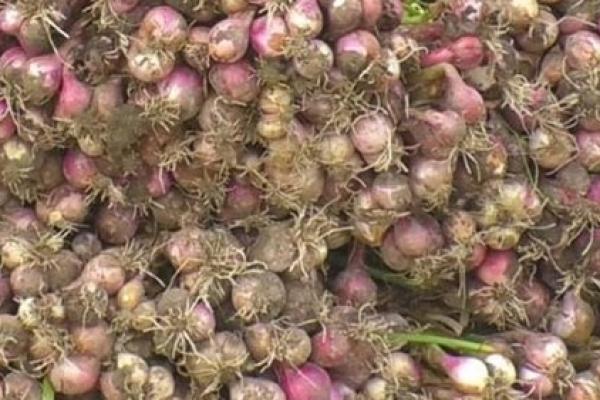 মৌসুমের সবচেয়ে বেশি পেঁয়াজের উৎপাদন হচ্ছে চাঁদপুরে
