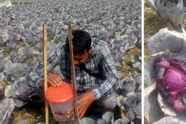 যশোরে কৃষকের খেতজুড়ে বেগুনি রংয়ের শত শত বাঁধাকপি