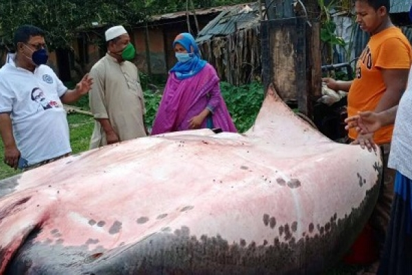 ৪০০ কেজি ওজনের শাপলাপাতা মাছ বিক্রি হলো ২ লাখ টাকায়