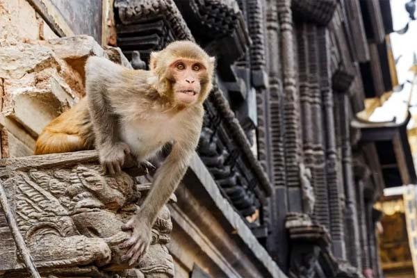 ভারতের উত্তরপ্রদেশে মাতলামির অভিযোগে বাঁদরের মৃত্যুদ'ণ্ড!