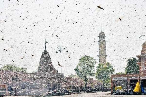 যা ভ'য় ছিল তাই ঘ'টল, করোনার মধ্যেই দিল্লি আ'ক্রমণ করলো কোটি কোটি পঙ্গপাল
