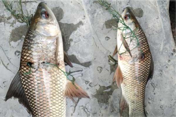 ময়মনসিংহের পুকুরে জালে ধ'রা পড়া আটটি অ'দ্ভূত রুই মাছ দেখে আত'ঙ্কগ্র'স্ত এলাকাবাসী