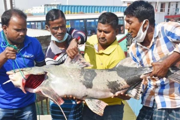 পদ্মায় ধরা পড়লো ২৯ কেজির মাছ