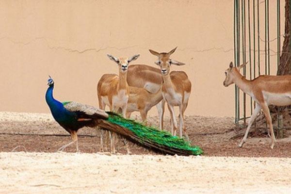 বিক্রি হবে চিড়িয়াখানার অতিরিক্ত হরিণ-ময়ূর, কিনতে পারবেন আপনিও