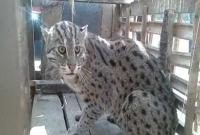 মুন্সীগঞ্জে বিরল প্রজাতির বাঘ আটক