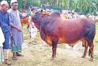 কোরবানির গরুর নাম 'কালো মানিক', মেসি, 'বাদশা'!