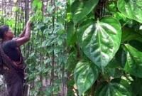 ভারতের এলসি পানের কারণে ঝিনাইদহের পান চাষীরা ব্যাপক লোকশানে