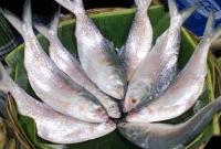 পুকুরে-রুই-কাতলা-চিংড়ির-সঙ্গেই-ইলিশ-চাষ-দেখে-সবাই-অবাক
