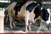 এবার দেশের সবচেয়ে বড় কোরবানির পশু 'রাজা বাবু'র দাম ২২ লাখ টাকা!