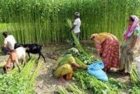 বাংলাদেশের-পাটে-লাভবান-ভারত