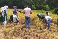 গাজীপুরে কৃষকের ধান কেটে দিল বিদ্যালয়ের শিক্ষার্থীরা