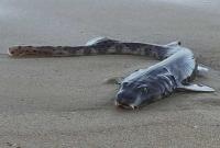 অস্ট্রেলিয়ার-সৈকতে-বিড়াল-চোখের--রহস্যময়--মাছ