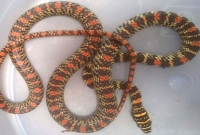সিনেমায়-দেখা-কালনাগিনী-সাপ-এবার-বাস্তবে-পাওয়া-গেল-শ্রীমঙ্গলে-মেয়রের-বাসার-প্রাচীরে