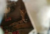 বন্যায়-ডুবে-গেছে-জঙ্গল-লোকালয়ে-ঢুকে-ঘরের-বিছানায়-শুয়ে-থাকল-বাঘ