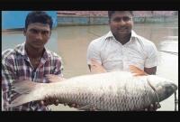 পদ্মায়-ধরা-পড়া-এই-রুই-মাছটি-বিক্রি-হলো-৪৮০০০-টাকায়-