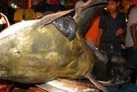 জালে-ধরা-পড়লো-৪-মণ-ওজনের-বাঘাইড়-মাছ