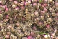 মৌসুমের-সবচেয়ে-বেশি-পেঁয়াজের-উৎপাদন-হচ্ছে-চাঁদপুরে