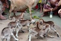 একটি-ছাগলের-৮-টি-বাচ্চা-জন্ম-গ্রহন-করায়-এলাকায়-চা-ঞ্চল্যের-সৃষ্টি