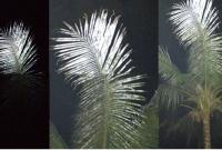 হঠাৎ ঝিনাইদহের বিভিন্ন এলাকায় নারিকেল গাছের পাতার রং পরিবর্তন!