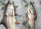 ময়মনসিংহের-পুকুরে-জালে-ধ-রা-পড়া-আটটি-অ-দ্ভূত-রুই-মাছ-দেখে-আত-ঙ্কগ্র-স্ত-এলাকাবাসী