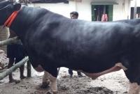 এখন-পর্যন্ত-দেশের-মধ্যে-সবচেয়ে-বড়-গরু-দাবি-ঈদে-৬৫-মণের-'বাংলার-বস'-এর-দাম-৫০-লাখ