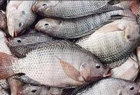 তেলাপিয়া-মাছ-খেলে-তিনটি-রোগ-হতে-পারে-আপনার-